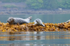 SteveTuckerman_HarborSeals_chuckanut